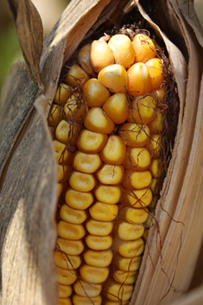 Mexican tariffs pose threat for Texas corn farmers